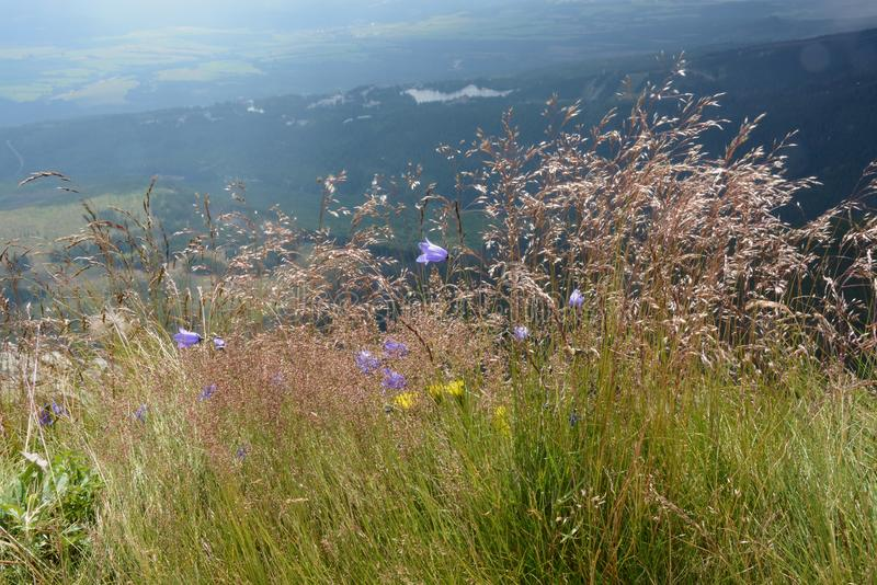 Grass and mountain flowers on the hillside of High Tatras. Blooming grass, purple bells and yellow flowers. In the background dark forest and Strbske lake royalty free stock photo