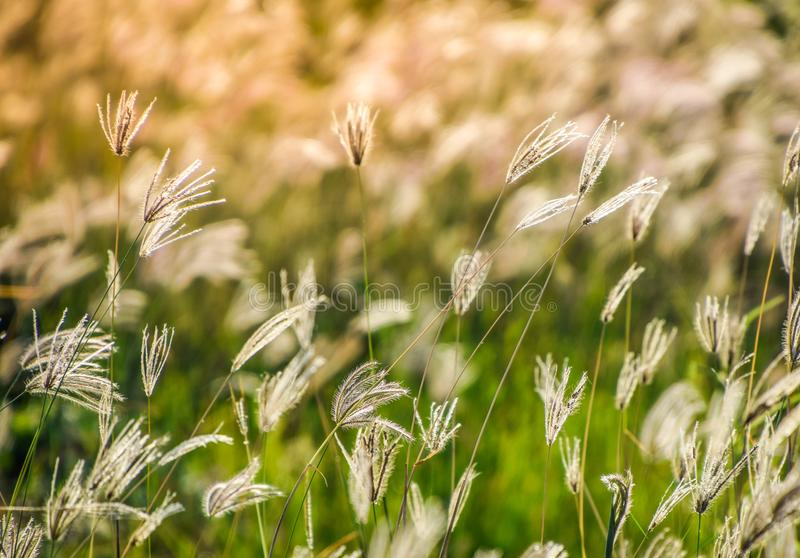 The grass is near to wilt, blown by the wind. Grass Flower in the Evening brown afternoon agriculture autumn background biosphere card congratulation stock photos