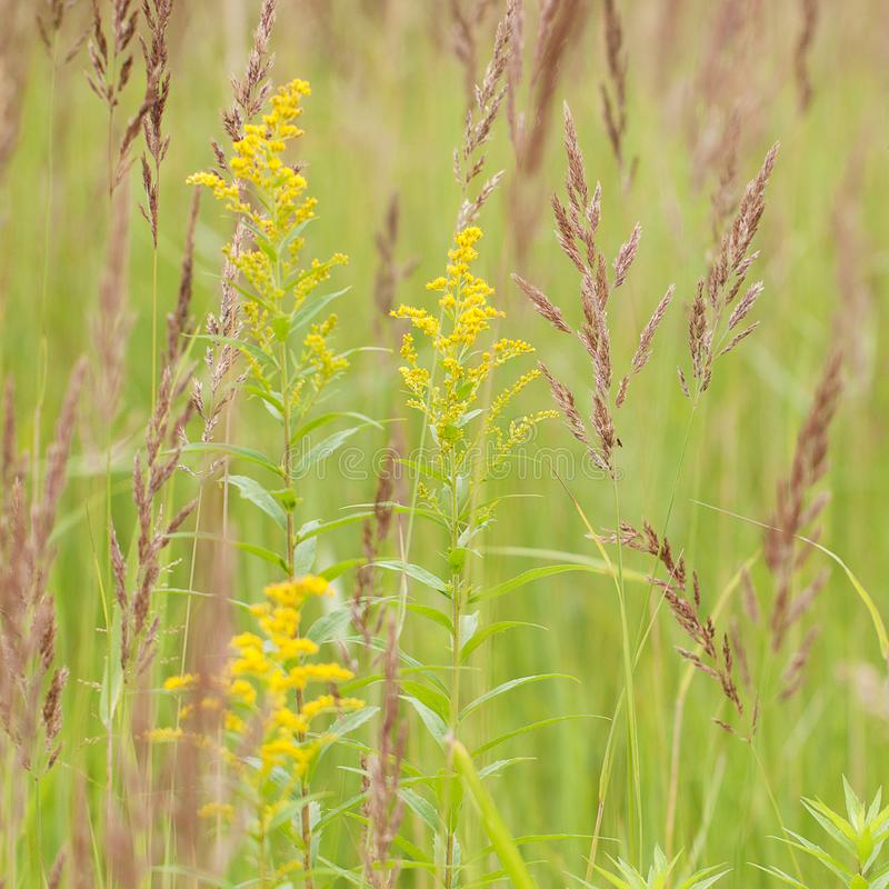 Grass with panicle and goldenrod in the field. Grass with fluffy panicle and blossoming flower goldenrod in a summer field or on a meadow royalty free stock image