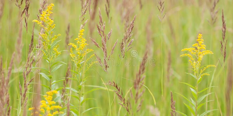 Grass with panicle and goldenrod in the field. Grass with fluffy panicle and blossoming flower goldenrod in a summer field or on a meadow royalty free stock photos