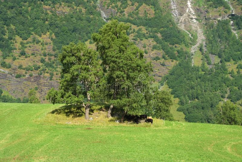 Grass pasture on mountain landscape in Flam, Norway. Cows under green tree on grassy meadow on sunny day. Summer stock photography