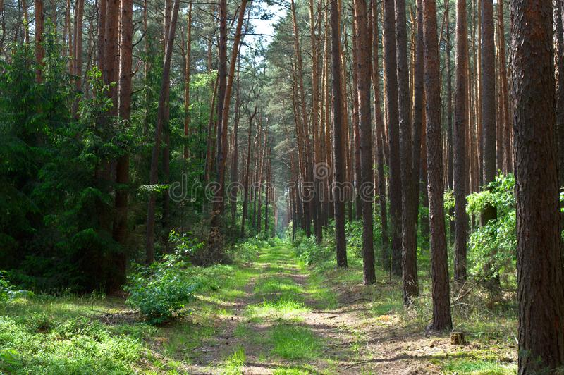 Empty grass path in a pine forest royalty free stock photography