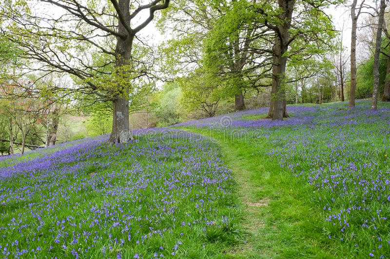 A grass path winds its way through the dense carpet of bluebells in this open woodland scene royalty free stock image
