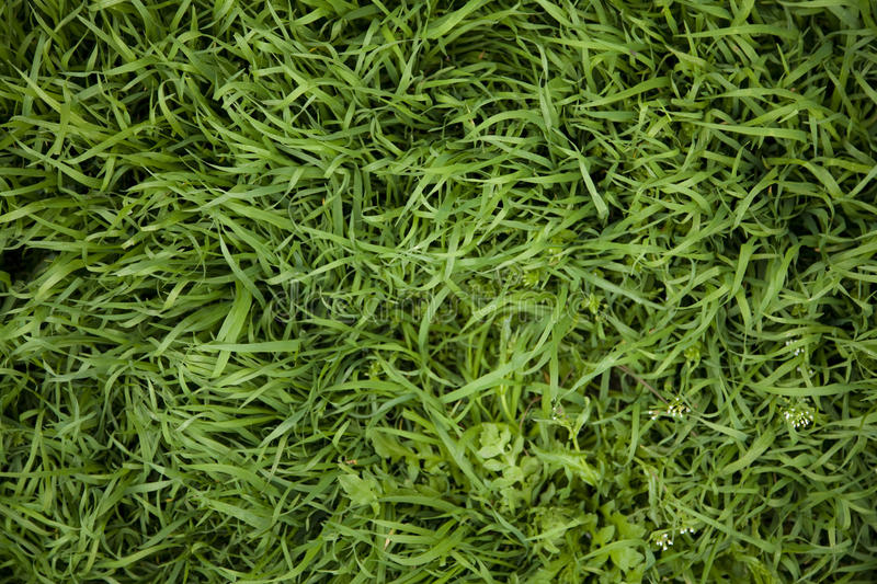 Grass pattern. Closeup grass pattern in the summer time royalty free stock photo