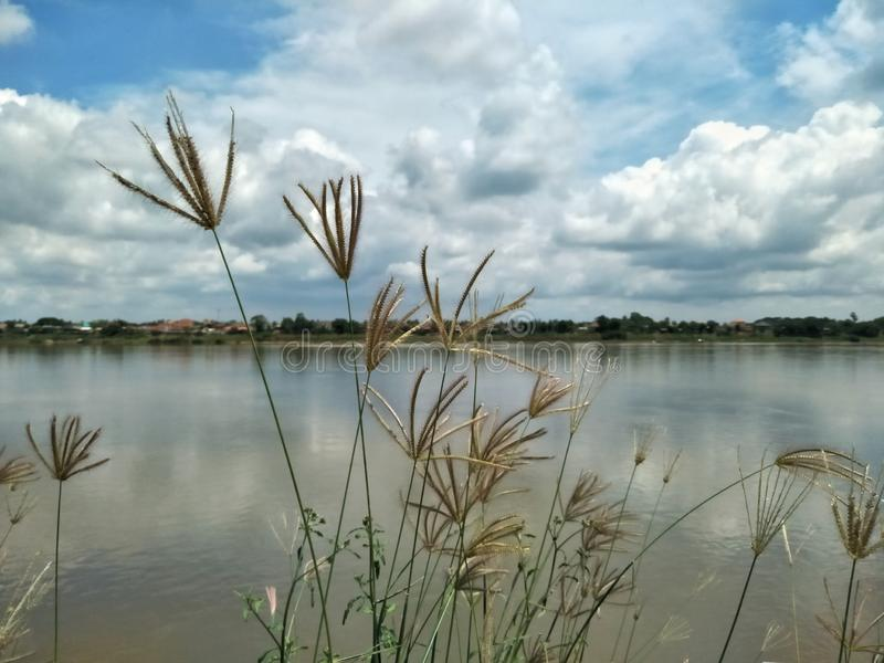 A grass plant with scenic of the Mekong river in Nong Khai province if Thailand. Asia, nature, background, sky, cloud, cloudy, blue, white, riverside, laos stock photos