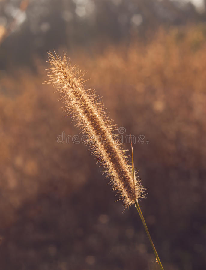 Grass plume with rim light. Photograph while the plume catch on back light to get maximum rim light on it's feather. Imaging to remove messy background royalty free stock photography