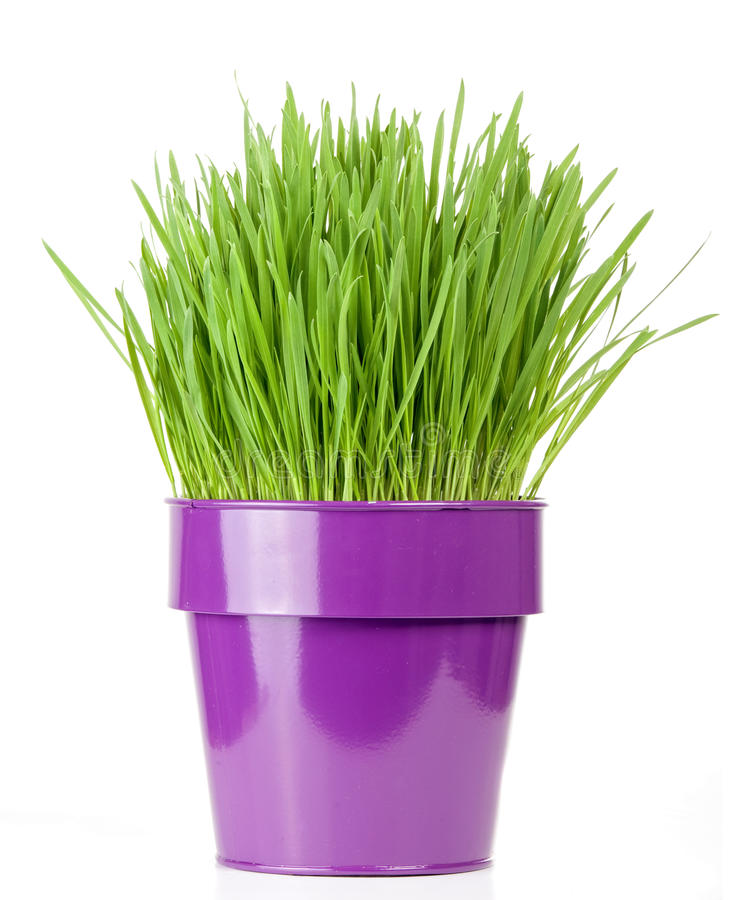 Grass pot. Catnip grass growing in metallic flower pot royalty free stock images