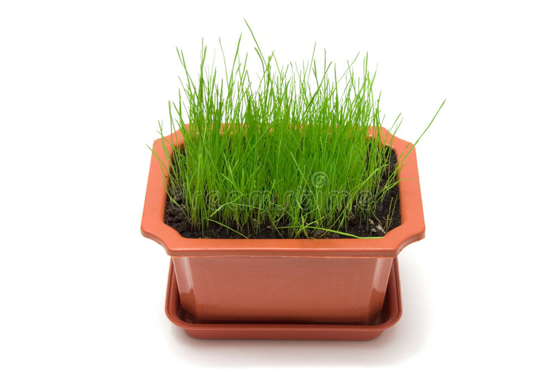 Grass in the pot. Against white background royalty free stock images