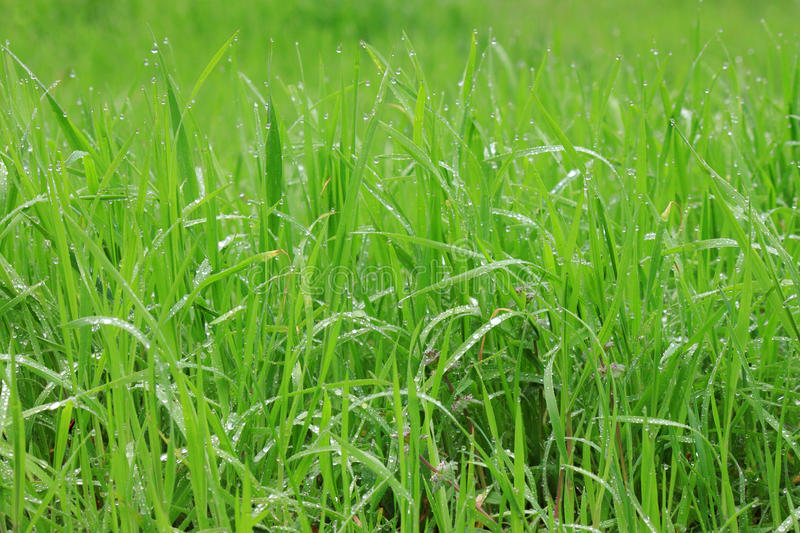 Download Grass with rain drops stock image. Image of close, spring - 30420033