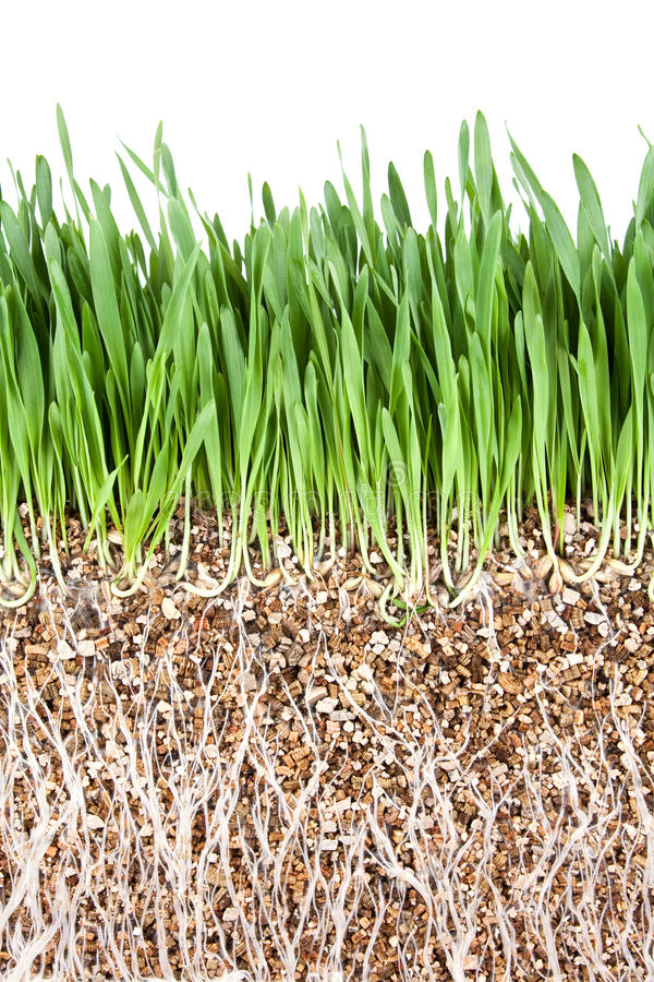 Grass Root Royalty Free Stock Photo