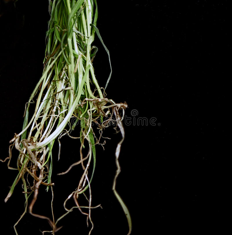 Grass Roots Royalty Free Stock Photo