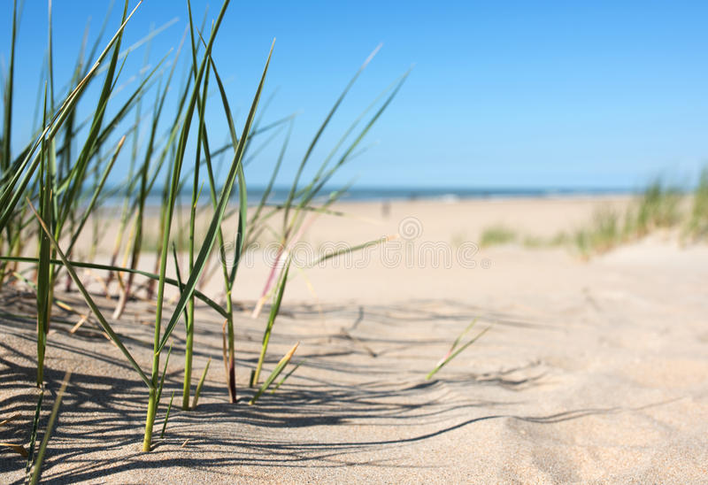 Grass in the sand dunes royalty free stock photos