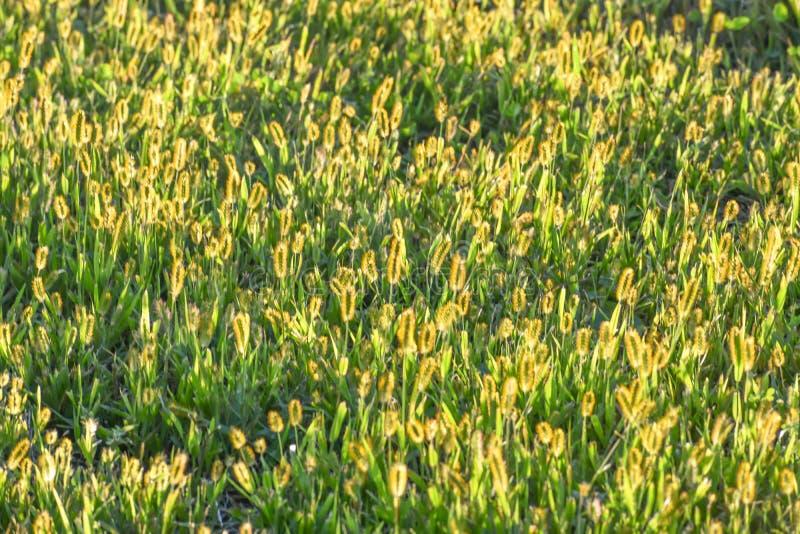 Grass Seed Heads Illuminated by Sun stock photo