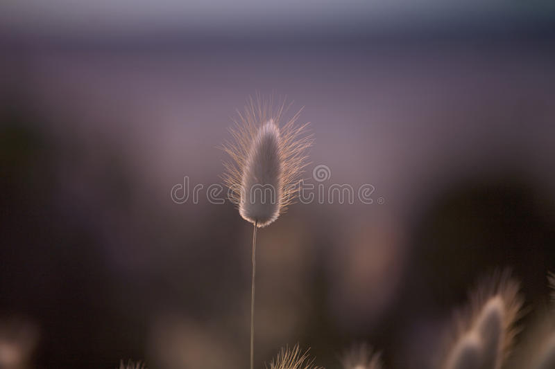 Grass Seed Pod, purple background stock photography