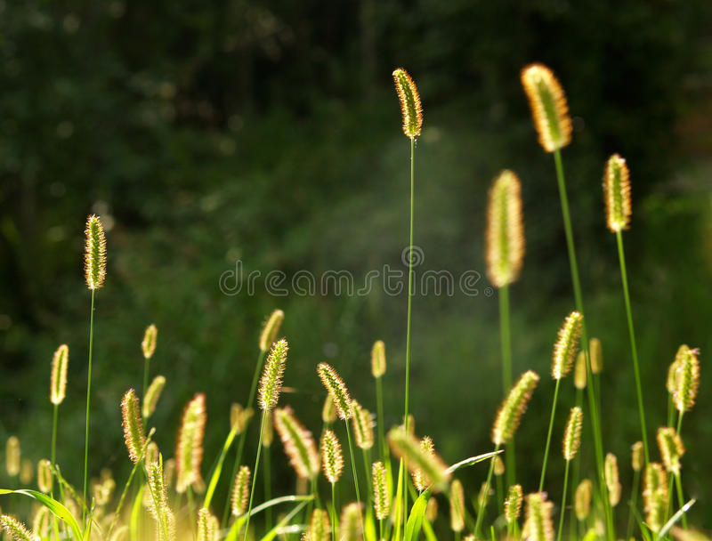 Grass seeds royalty free stock image