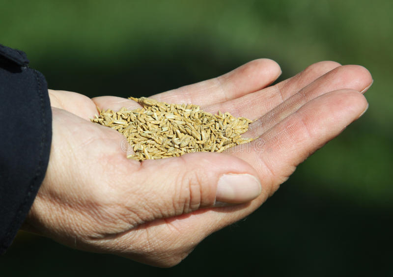 Download Grass seeds on the hand stock image. Image of seeding - 24834413
