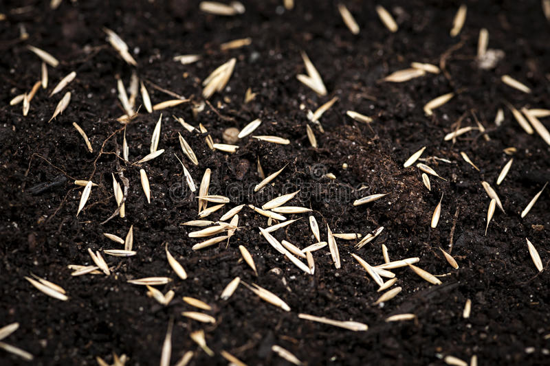 Grass seeds in soil stock images