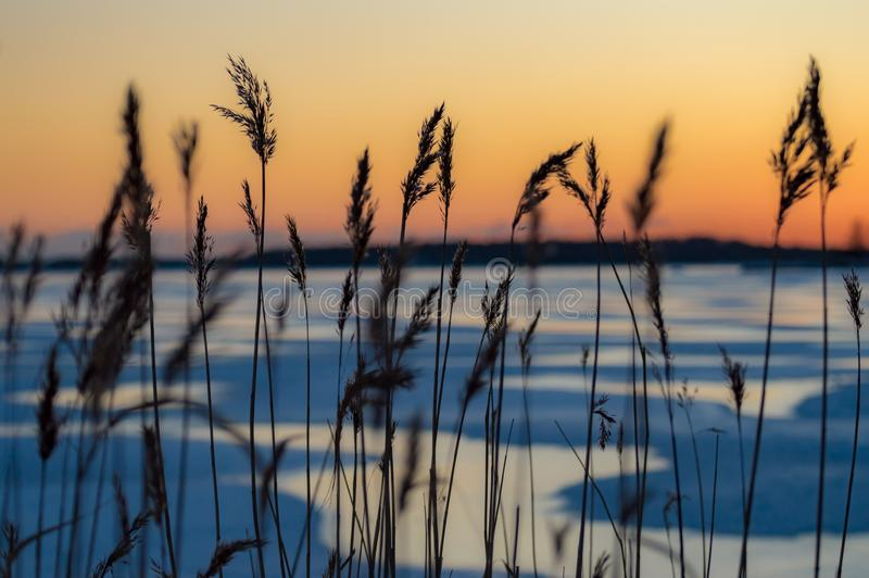 Grass Silhouette with Sunset Over Batic Sea Ice stock photos