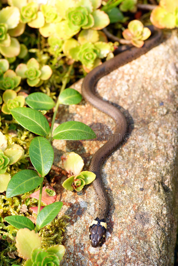 Grass snake royalty free stock image