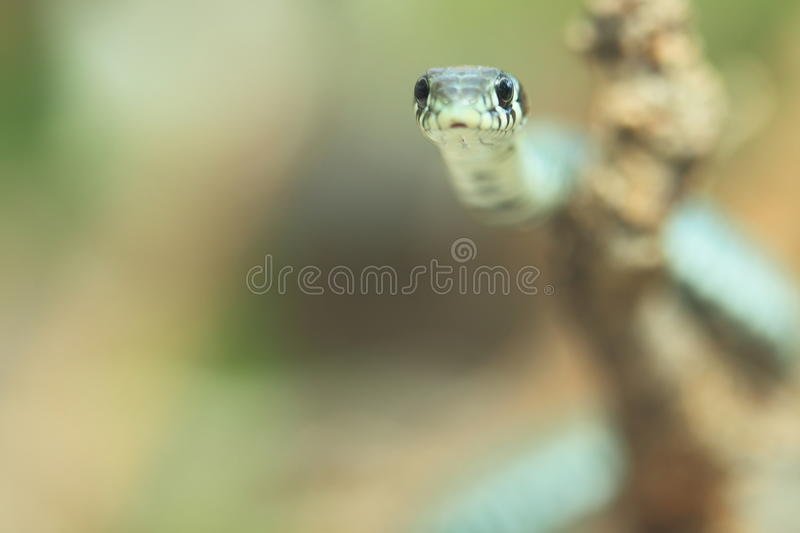 Download Grass snake stock image. Image of european, head, natrix - 28331487