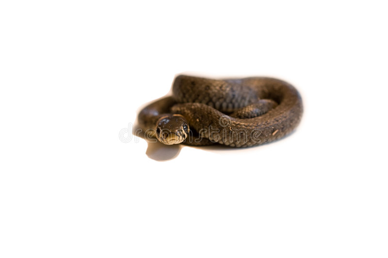 Download Grass Snake stock image. Image of natrix, smooth, wild - 6360683