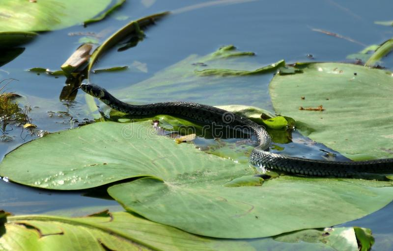 Grass snake at Hutovo Blato, watter lilies. Hutovo Blato is a nature reserve and bird reserve, located in south part of Bosnia and Herzegovina. It is also one of stock photography
