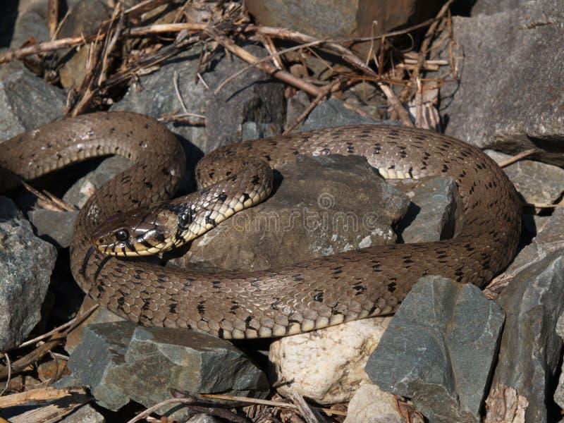 Grass Snake Natrix Natrix Stock Image