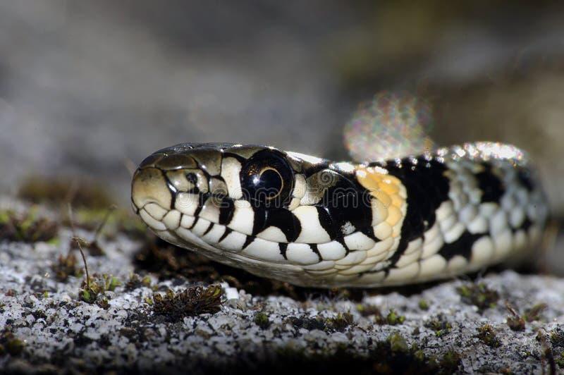 Grass snake ( Natrix natrix) stock photography