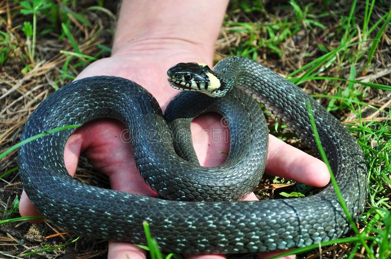 Grass snake on a palm royalty free stock photography