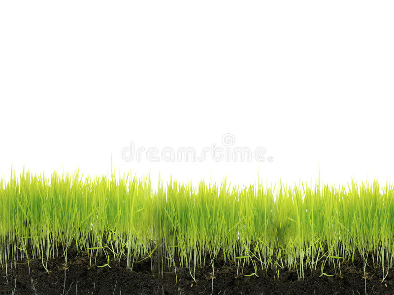 Grass with soil. Isolated on white royalty free stock image