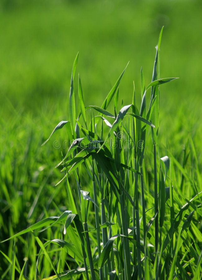 Free Grass Spreads 2 Royalty Free Stock Photos - 770098