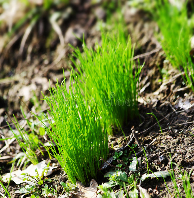 Grass sprouts. Fresh green grass sprouts in the ground stock photos