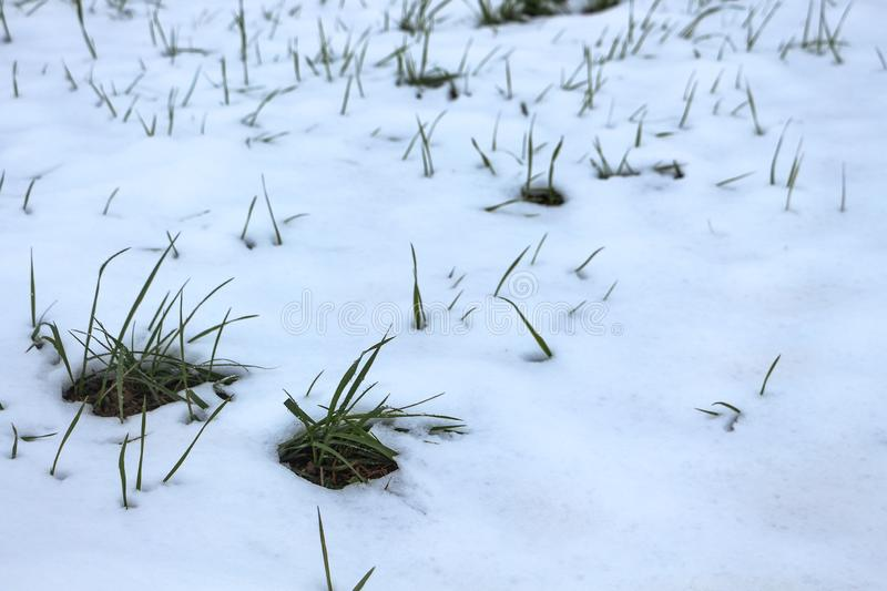 Grass sprouts peaking through the snow stock photos