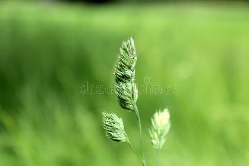 Grass stalk royalty free stock photography
