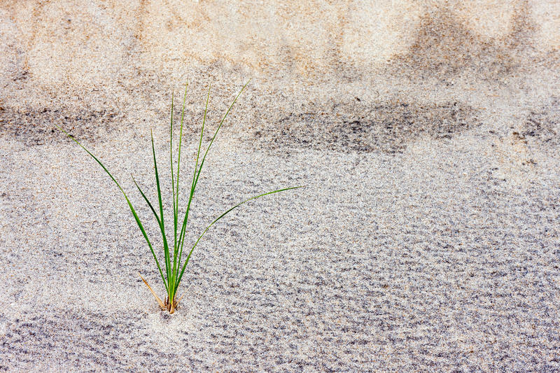 Grass Stalk in Sand Dune. A single stalk of grass growing in a sand dune royalty free stock photo