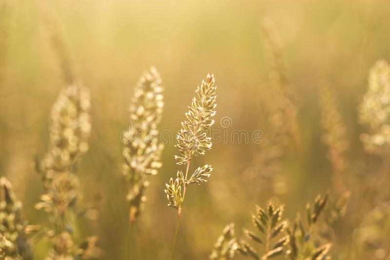 Grass steppe in saturated sunset sunlight. Spike grass steppe in saturated sunset sunlight closeup stock photography