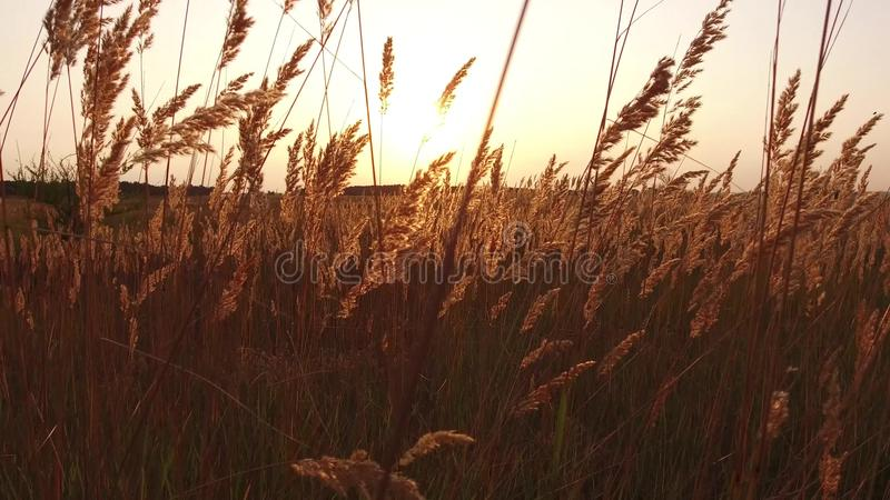 Grass sunlight at dawn morning summer. Nature field brown and yellow spikelet grass steadicam shot motion video stock images