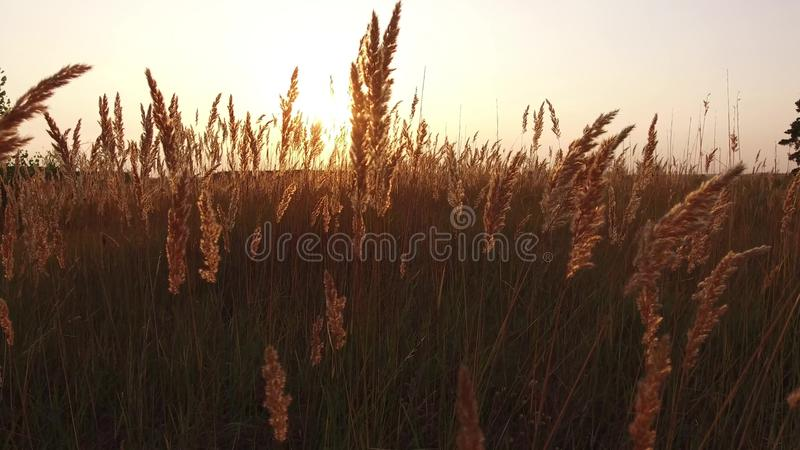 Grass sunlight at dawn morning summer. Nature field brown and yellow spikelet grass steadicam shot motion video stock photography