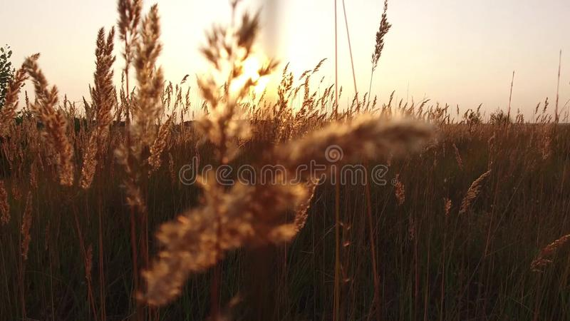 Grass sunlight at dawn morning summer. Nature field brown and yellow spikelet grass steadicam shot motion video royalty free stock photos