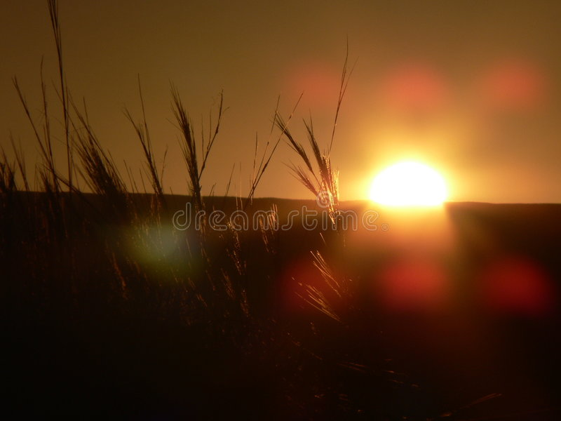 Grass with sunset and camera flare royalty free stock images