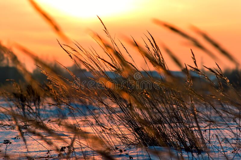 Grass on sunset in sunlight. Winter time royalty free stock photography