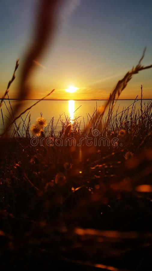 Grass in the sunset at the water royalty free stock photo