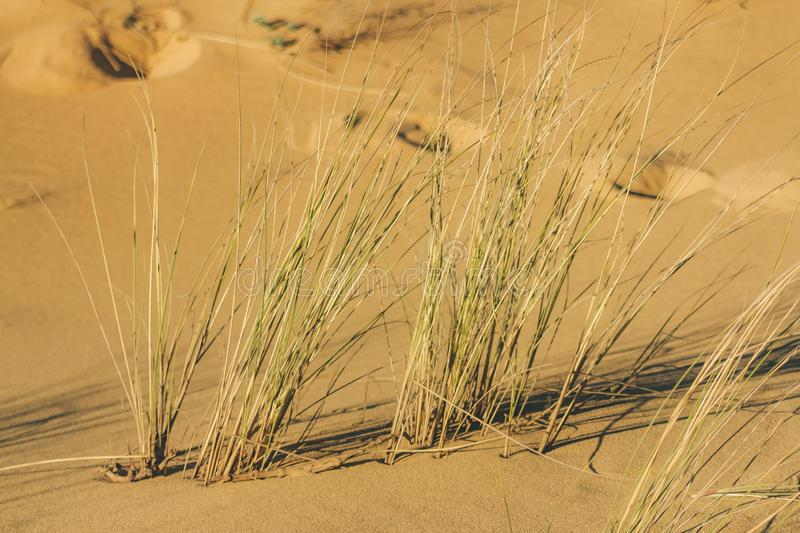 Grass swaying with the wind  in the sand of the dune stock photography
