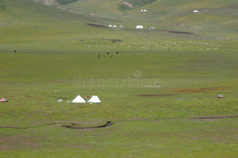 Grass on the tent and the flock. Photo Taken On: JULY 19th, 2017 stock photo