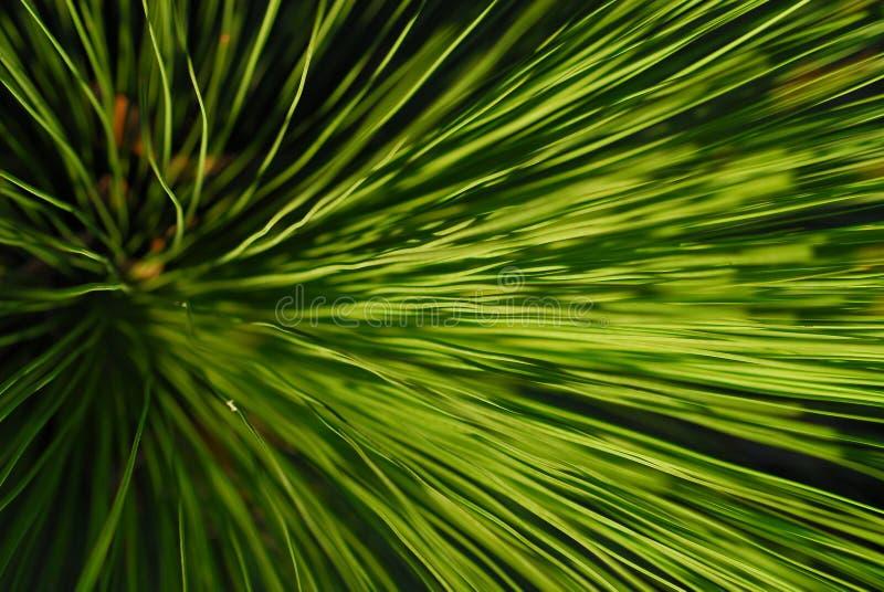 Grass tree royalty free stock photo
