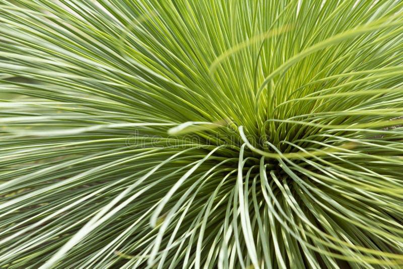 Grass tree or Black boy royalty free stock photos