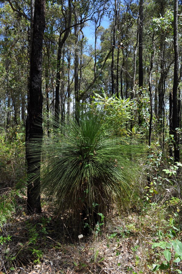 Grass tree or blackboy in jarrah forest stock image