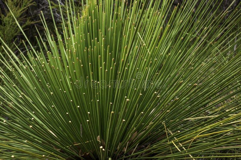 Grass Tree in Western Australia stock image