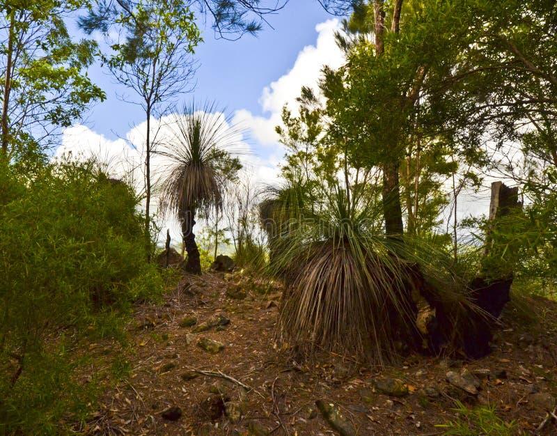 Grass Trees on Mt Tinbeerwah, Sunshine Coast, Queensland, Australia royalty free stock photo