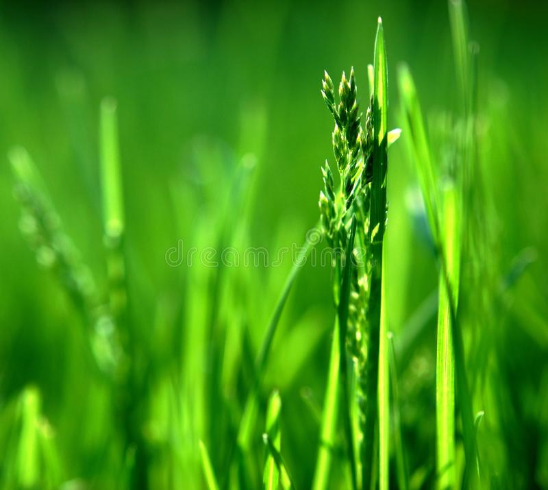 Grass, Water, Grass Family, Field stock image